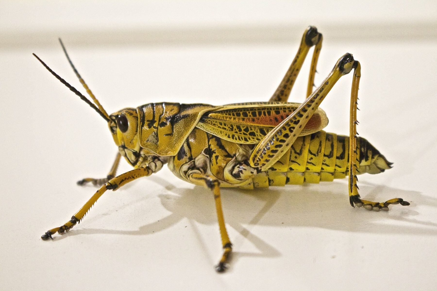 When does a grasshopper pounce on your company?